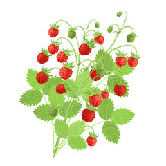 Strawberry plant with red berries, hand drawn vector imitation of watercolor painting.
