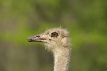 close up of an ostrich on a meadow
