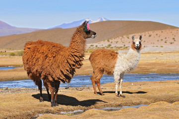 Two llamas grazing near the Laguna Colorada in South Lipez, Bolivia.