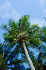 Holiday and vacation, palms tree, White clouds with blue sky