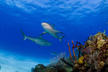 Caribbean reef sharks in clear blue water above colorful reef and corals