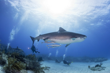 Tiger shark from the side in clear blue water with a caribbean reef shark, scuba divers and the sun in the background