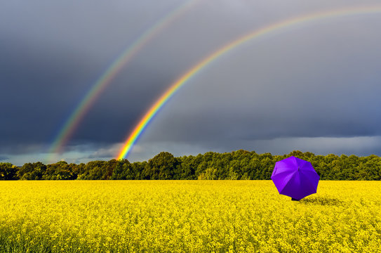 Lonely umbrella and rainbow above the field with blossoming rapeseed, just before thunderstorm, concept of ecological tourism that is targeted at human health maintenance