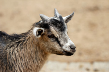 African pygmy goat kid