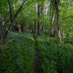Spring evening light in the woods near Hoe Hate, South Downs, Hampshire, UK