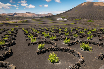 Vineyard protected against the wind on the island of Lanzarote, Spain