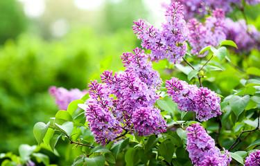 Lilac flowers blossom