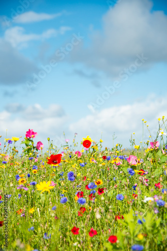 Fototapete Wild Flower Meadow in Wales