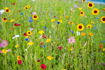 Fototapete - Wild Flower Meadow in Wales