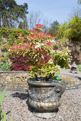 Pieris shrub grown in a container on gravel with colorful red leaves.