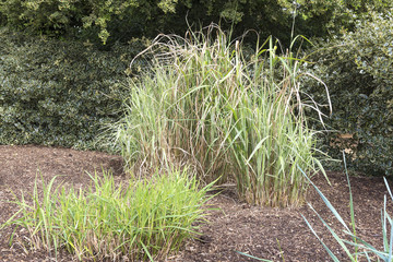 Tall variegated grasses as a feature in a lanscaped garden.