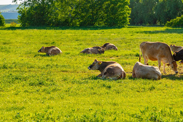 A herd of brown cows lies on the green field