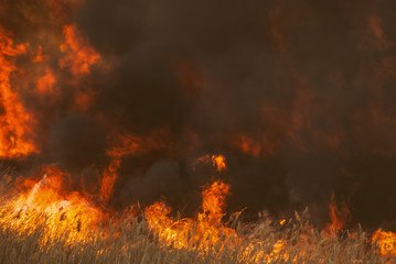 The raging flame of fire burn in the fields, forests and black thick acrid smoke. Big wildfire close-up