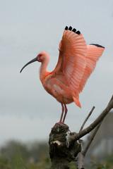 Eudocimus ruber - Ibis rosso