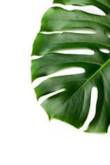 Dark green leaves of monstera  isolated on white background