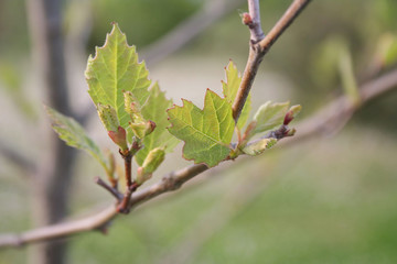 Plane tree young fresh leaves growing on branch. Platanus