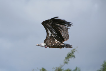 Gyps ruppellii - Avvoltoio di Ruppell