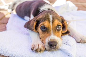 Schlafender Welpe Beagle