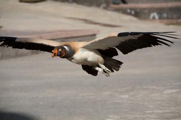 Sarcoramphus papa - Avvoltoio reale