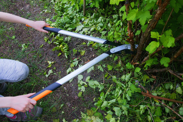 Fototapeta Cut with bypass lopper old shoots of shrubs / Physocarpus opulifolius / obraz