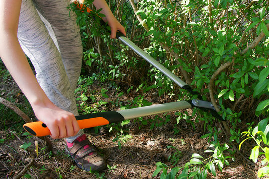 Cut with bypass lopper old shoots of shrubs / Ligustrum /