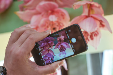 hand with smartphone shooting hanging pink orchid flowers