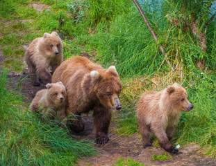 Grizzly mother and cubs walking in Alaska