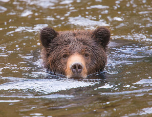 Grizzly bear cub in river
