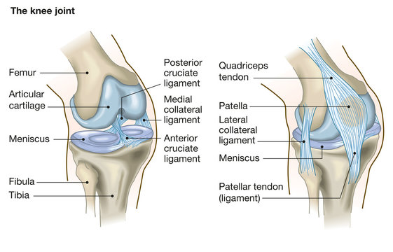 The knee joint, anatomy, medical illustration with caption