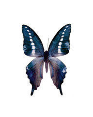 Taxidermy - Dotted swallowtail butterfly, negative and isolated on white