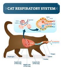 Cat respiratory system, vet anatomy vector illustration poster with lungs and capillary diagram scheme.