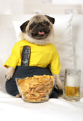 Pug dog on the couch watching TV
