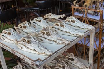 Crocodile skull on counter