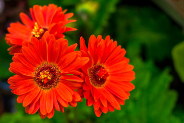 bright red flowers on green background, cosmos flower