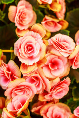 beautiful pink flowers, abundant flowering