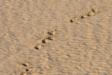 footprint of elephant in sand,Kruger National park in South Africa