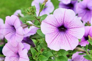 красивые цветы фиолетовой питуньи