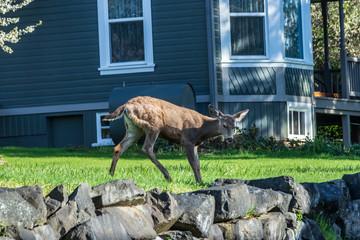deer walking in front