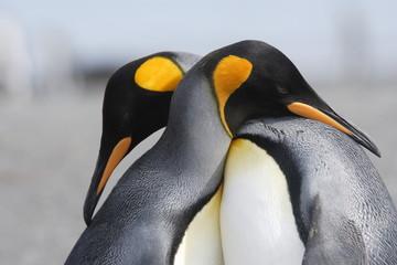 Foto auf Gartenposter Antarktika King penguins in love