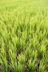 Rice plant on a very green meadow