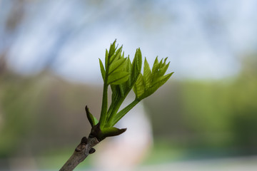 Branches of ash with young leaves. Macro photo with selective focus and blurred background.
