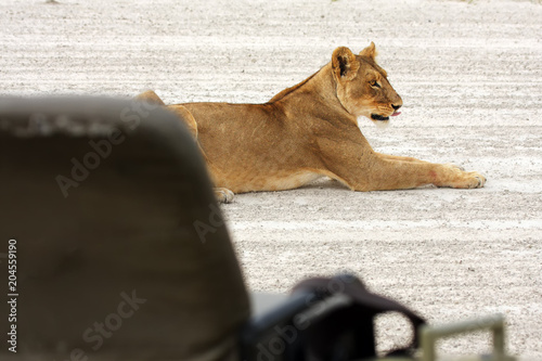 Lioness African Lion Panthera Leo Female Lying On A Sandy Path