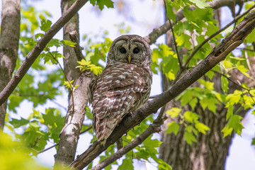 A Barred Owl perched in a tree