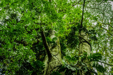 overgrown tree in jungle - looking up in forest / rainforest -