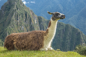 Poster Lama The road to Machu Picchu and beautiful landscapes