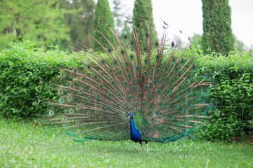 beautiful peacock with shiny blue and green feather wheel on a meadow in a park, garden