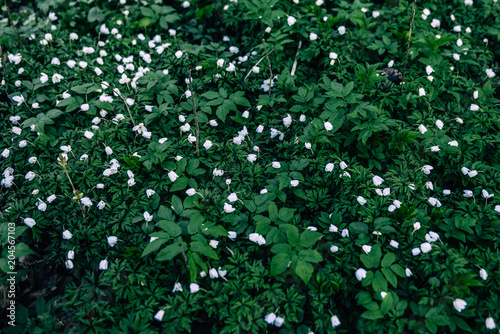 Snowdrops Flowers In Springtime Floral Wallpaper A Closeup Of
