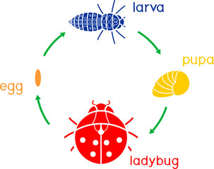 Life cycle of ladybug. Sequence of stages of development of ladybug from egg to adult insect