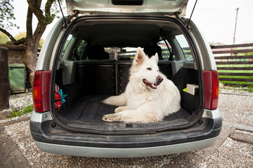 Big white Swiss Shepherd in the car. Carrying dog in the car. Travel with a dog. Car trunk and dog.