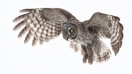 Great Grey Owl Fototapete